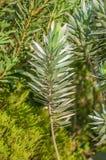 Hojas de un Protea del árbol de plata Fotografía de archivo libre de regalías
