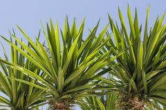 Hojas de una yuca Foto de archivo libre de regalías