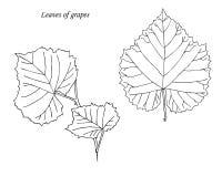 hojas de uvas Mano drenada bosquejo ilustración del vector