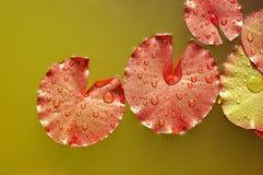 Hojas de Waterlilly Fotografía de archivo