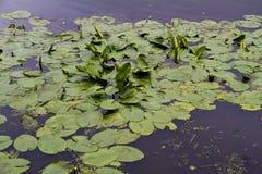 Hojas de Waterlily en el lago Fotografía de archivo libre de regalías