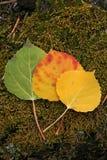 Hojas del álamo temblón del tiempo de caída del árbol Foto de archivo libre de regalías