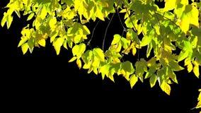 Hojas del árbol del canal alfa metrajes