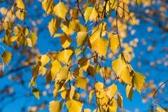 Hojas del árbol de abedul amarillo y cielo azul Imagen de archivo