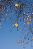 Hojas del árbol de abedul de la caída Fotografía de archivo libre de regalías