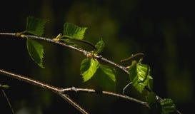 Hojas del árbol de abedul de plata en fondo oscuro Foto de archivo