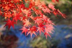 Hojas del árbol de arce japonés (momiji) Imagen de archivo