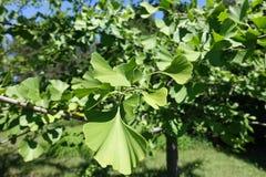 Hojas del árbol de Biloba del Ginkgo fotografía de archivo libre de regalías