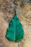 Hojas del árbol de Bodhi. Fotografía de archivo libre de regalías