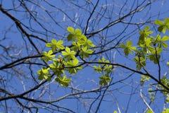 Hojas del árbol de castaña Fotografía de archivo libre de regalías