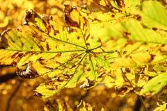 Hojas del árbol de castaña en otoño Imagen de archivo libre de regalías