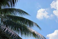 Hojas del árbol de coco en fondo del cielo azul Fotos de archivo libres de regalías
