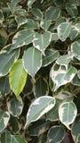 Hojas del árbol de los ficus Foto de archivo