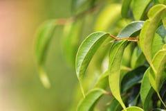 Hojas del árbol de mango Imágenes de archivo libres de regalías