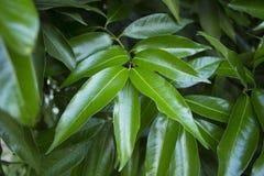 Hojas del árbol de mango Imagenes de archivo