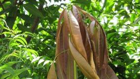 Hojas del árbol de mango nuevas Fotos de archivo