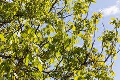 Hojas del árbol de nuez Fotos de archivo