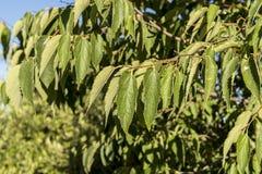 Hojas del árbol de ortiga europeo, Celtis australis Imagenes de archivo