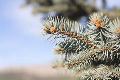 Hojas del árbol de pino Foto de archivo
