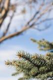 Hojas del árbol de pino Imágenes de archivo libres de regalías