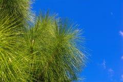 Hojas del árbol de pino Imagen de archivo