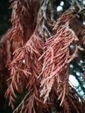 Hojas del árbol de pino Foto de archivo libre de regalías