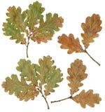 Hojas del árbol de roble Foto de archivo libre de regalías