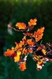 Hojas del árbol de roble en otoño Foto de archivo