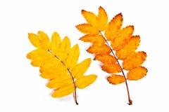 Hojas del árbol de serbal del otoño aisladas en blanco Con la trayectoria de recortes Imagenes de archivo
