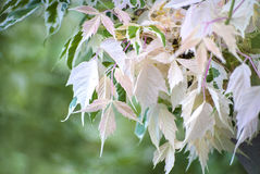 Hojas del árbol del albino Fotos de archivo