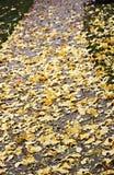 Hojas del árbol del ginkgo del amarillo de Autumnum en la acera Fotografía de archivo