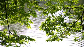 Hojas del árbol en el lago almacen de metraje de vídeo