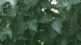 Hojas del árbol en la lluvia almacen de metraje de vídeo