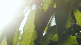 Hojas del árbol frutal en la cámara lenta de los rayos del sol, fertilidad verde del flor del manzano almacen de metraje de vídeo