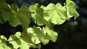 Hojas del árbol movidas por el viento Siliquastrum del Cercis en verano almacen de metraje de vídeo