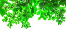 Hojas del árbol para la imagen de fondo Imagenes de archivo