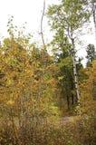 Hojas del árbol y del amarillo de abedul Foto de archivo