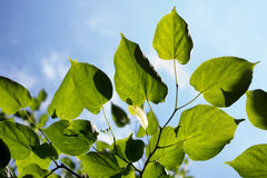 Hojas del árbol y cielo azul Imagen de archivo