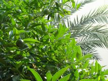 Hojas del árbol y de la palmera de limón en el fondo blanco del cielo imagenes de archivo