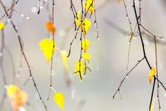 Hojas del abedul amarillo Fotos de archivo libres de regalías