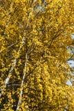 Hojas del abedul amarillo Imagen de archivo libre de regalías