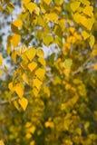 Hojas del abedul amarillo Foto de archivo libre de regalías