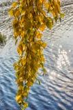 hojas del abedul amarillo contra el agua Fotografía de archivo