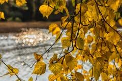 hojas del abedul amarillo contra el agua Foto de archivo libre de regalías