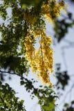 Hojas del abedul amarillo en árbol Foto de archivo
