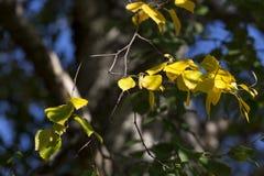 Hojas del abedul amarillo en árbol Imágenes de archivo libres de regalías