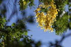 Hojas del abedul amarillo en árbol Fotos de archivo