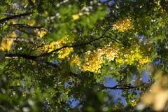 Hojas del abedul amarillo en árbol Imagen de archivo libre de regalías