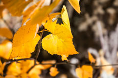 Hojas del abedul amarillo en bosque del otoño Foto de archivo