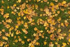 Hojas del abedul amarillo en hierba verde Fotos de archivo